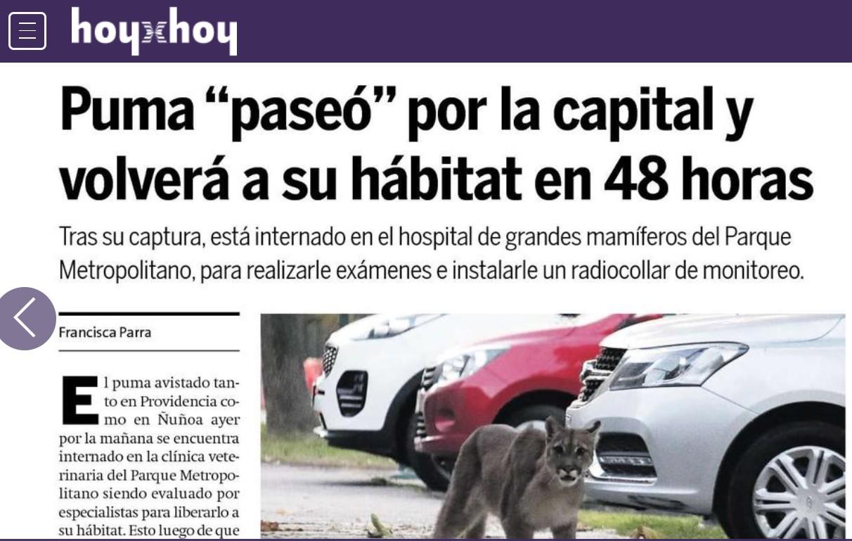 Puma «paseó» por la capital y volverá a su hábitat en 48 horas