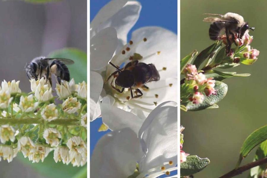 Estudio arroja que las abejas nativas son más eficaces en la polinización en comparación a la abeja europea