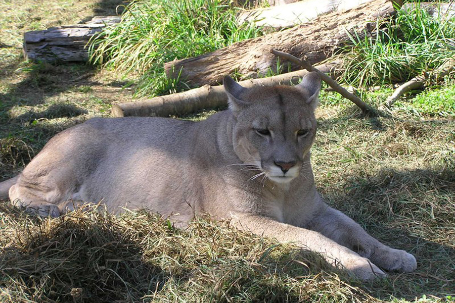 Puma: mitos y realidades del felino nativo más grande de Chile